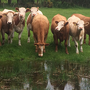 beef cows 300px
