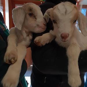 goats 300px