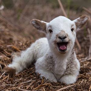 lamb 300px
