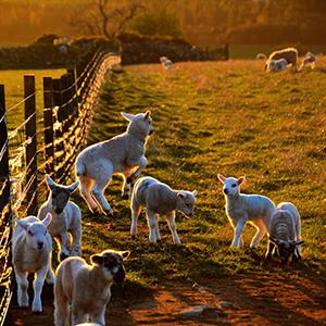 lambs 300px