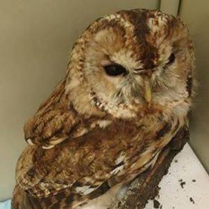 owl 300px